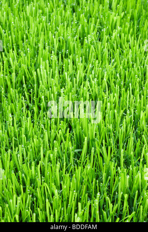 Lawn grass with water droplets - Stock Photo