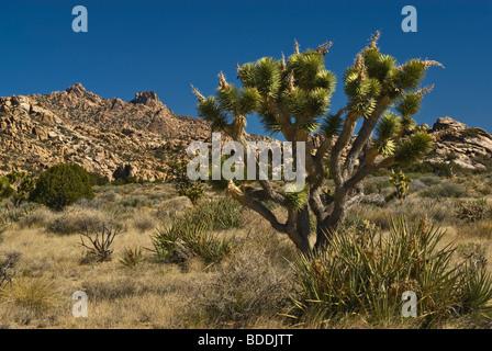 Joshua Trees in New York Mountains at Mojave National Preserve, California, USA - Stock Photo