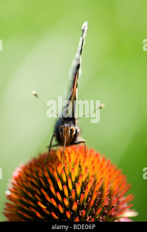 Vanessa atalanta. Red admiral butterfly feeding on an Echinacea purpurea coneflower - Stock Photo