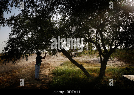 A child picks small apples from a tree in the village of El Araqeeb, Israel - Stock Photo