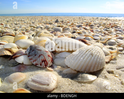 Seashells sea shells on a beach on Sanibel or Captiva Island in Florida in the USA - Stock Photo