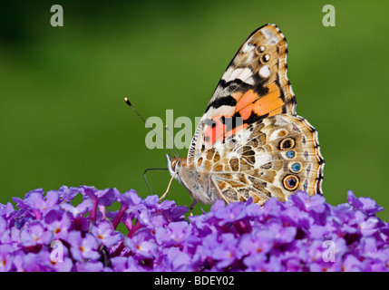 Painted Lady Butterfly (cynthia cardui) on Buddleia - Stock Photo