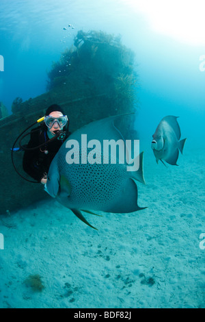 Scuba Diver admiring Gray Angelfish (Pomacanthus arcuatus) in front of the Prince Albert wreck in Roatan, Honduras. - Stock Photo