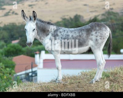 This grey donkey is pictured on August 7, 2009 in Andalusia near by Tarifa in southern Spain. - Stock Photo