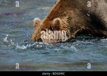 Brown bear (grizzly bear), Ursus arctos horribilis, head in water looking for salmon.  First in sequence with image - Stock Photo