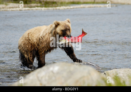 Grizzly bear with fish (salmon) in mouth, Ursus arctos horribilis, Katmai National Park, Alaska - Stock Photo