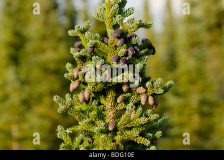 Black spruce, Picea mariana, in boreal forest of Alaska - Stock Photo