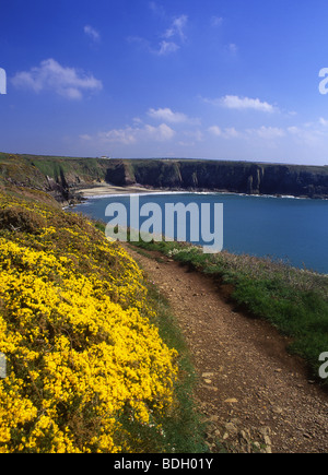 Caerfai Bay Near St David's Gorse in springtime Pembrokeshire Coast Path West Wales UK - Stock Photo