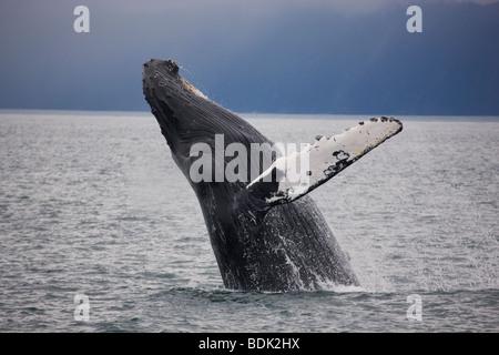 Humpback Whale, Kenai Fjords National Park, Alaska. - Stock Photo