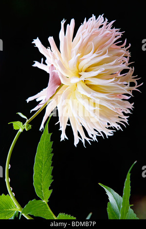 A pretty single flower against a black background - Stock Photo