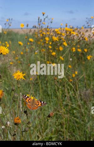 Painted Lady Butterfly Cynthia cardui in mid summer - Stock Photo