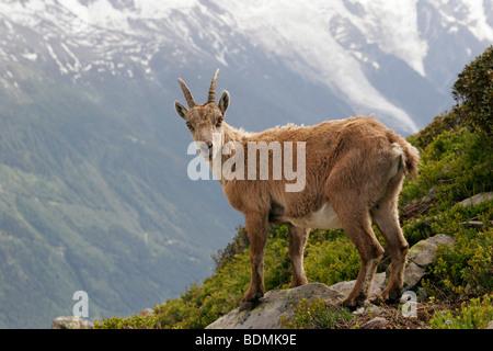 Alpine ibex (Capra ibex) in the Mont Blanc Massif in Chamonix-Mont-Blanc, France, Europe - Stock Photo