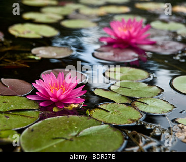 a pond with two pink water lilies - Stock Photo