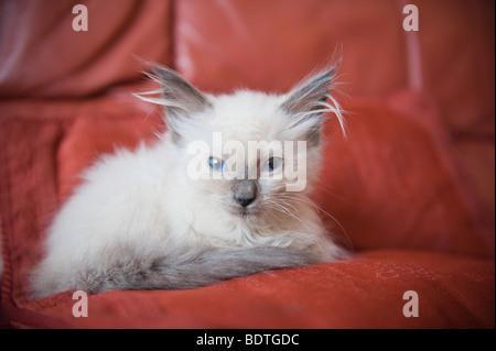 Ragdoll kitten (8 weeks old) - Stock Photo