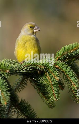 european greenfinch - Stock Photo