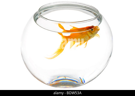 Horizontal elevated close up of a bright orange goldfish (Carassius auratus) at the top of a round fish bowl on - Stock Photo