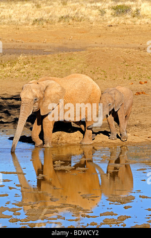 African Elephant cow (Loxodonta africana) with a young calf at a waterhole, Madikwe Game Reserve, South Africa, - Stock Photo