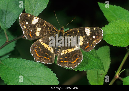 Map butterfly (Araschnia levana), second or summer generation individual - Stock Photo
