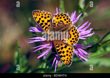 Queen of Spain Fritillary (Issoria lathonia) sitting on a flowering Brown Knapweed, Brownray Knapweed (Centaurea - Stock Photo