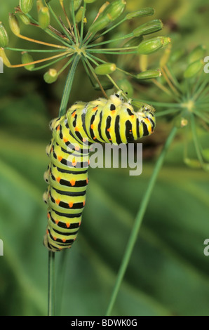 Old World Swallowtail (Papilio machaon) caterpillar feeding on seed capsule of dill - Stock Photo