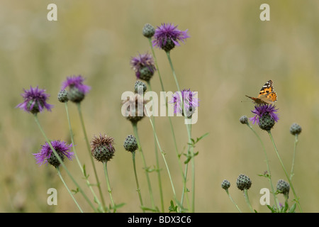 Painted Lady butterfly Cynthia cardui on greater knapweed Centaurea scabiosa. Second generation. - Stock Photo