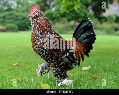 A fancy chicken with brightly coloured feathers - Stock Photo