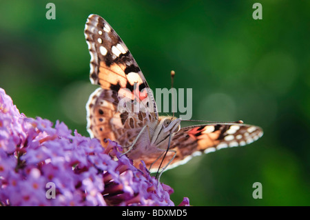 Painted Lady (Vanessa cardui) sitting on a flower of Summer Lilac (Buddleja davidii) - Stock Photo