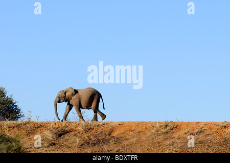 Young African elephant (Loxodonta africana) walking over a dam, Madikwe Game Reserve, South Africa, Africa - Stock Photo