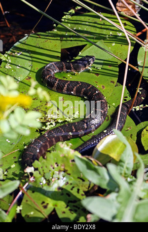 Common Brown Water Snake - Stock Photo