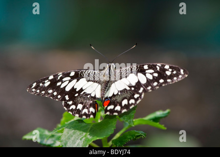 Lime Butterfly, Papilio demoleus malayanus - Stock Photo