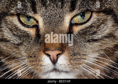 Domestic cat, male house cat (Felis silvestris forma catus), portrait - Stock Photo