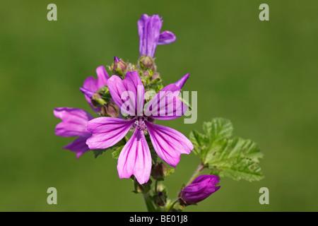 Flowering Blue Mallow, High Mallow (Malva sylvestris), medicinal plant - Stock Photo