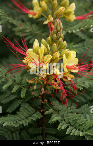 Bird of Paradise Bush, Desert Bird of Paradise, Yellow Bird of Paradise, or Barba de Chivo, Caesalpinia gilliesii, - Stock Photo