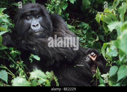 Mountain Gorilla, (Gorilla gorilla beringei), mother and baby, Sabinyo Group, Rwanda. - Stock Photo