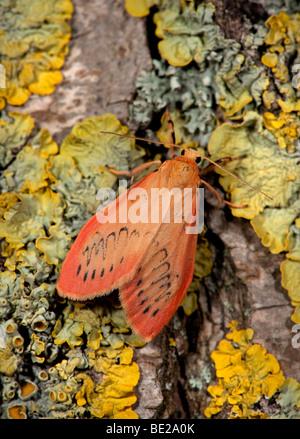 Rosy Footman Moth Miltochrista miniata on lichen covered tree trunk. - Stock Photo