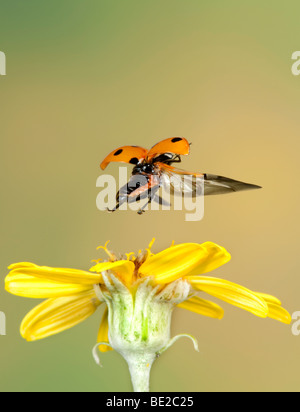 Seven Spot Ladybird Coccinella 7 punctata In flight free flying High Speed Photographic Technique - Stock Photo
