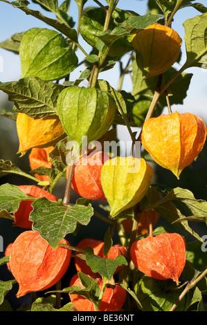 Bladder cherry, Chinese lantern, Japanese lantern, or Winter cherry (Physalis franchetii), ornamental plant - Stock Photo