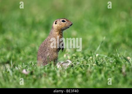 European ground squirrel, European Souslik (citellus Citellus, Spermophilus citellus) standing on its hind legs - Stock Photo