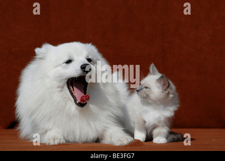 Japanese Spitz or Nihon Supittsu with Ragdoll cat - Stock Photo