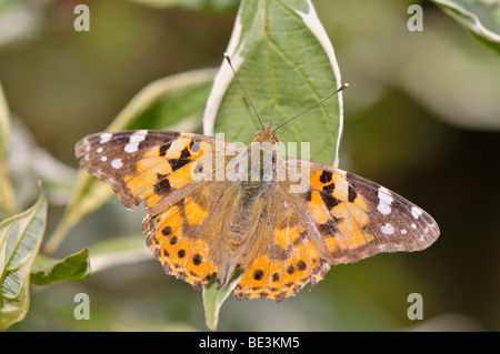 Painted Lady (Vanessa cardui) - Stock Photo