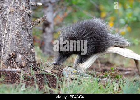 New World Porcupine, North American Porcupine (Erethizon dorsatum). Youngster walking on the ground. - Stock Photo