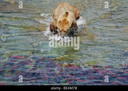 Brown bear (grizzly bear), Ursus arctos horribilis, lunging for sockeye salmon, Katmai National Park and Preserve - Stock Photo