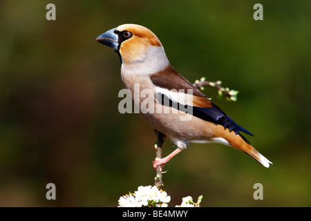 Hawfinch (Coccothraustes coccothraustes), male perched on a blossoming branch - Stock Photo