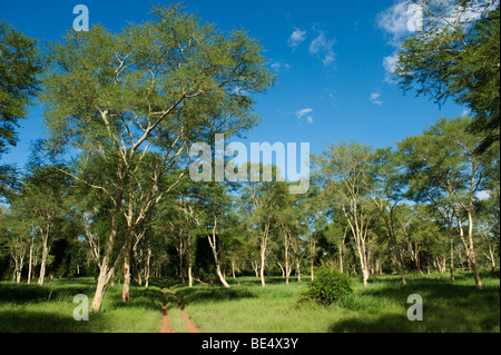 Fever tree (Acacia xanthophloea) forest in Northern Kruger National Park, South Africa - Stock Photo