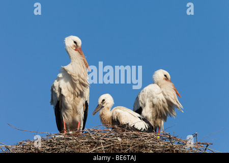 European White Stork (Ciconia ciconia). Pair with chick on nest. - Stock Photo