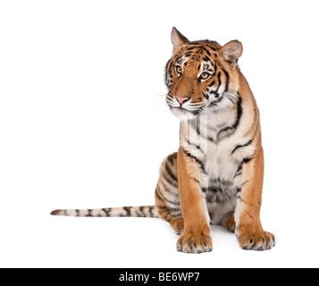 Portrait of Bengal Tiger, Panthera tigris tigris, 1 year old, sitting in front of white background, studio shot - Stock Photo