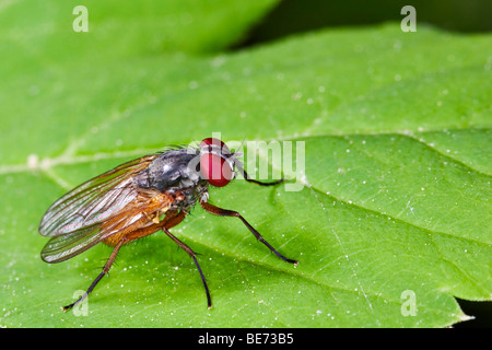 Fly (order Diptera, suborder Brachycera) - Stock Photo