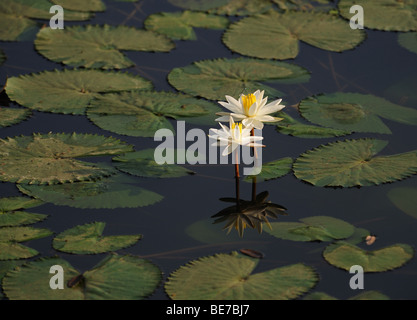 White Lilies in a pond surrounded by its leaves - Stock Photo