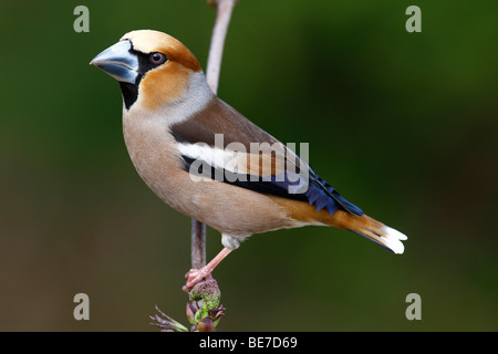 Hawfinch (Coccothraustes coccothraustes), male perched on a branch - Stock Photo
