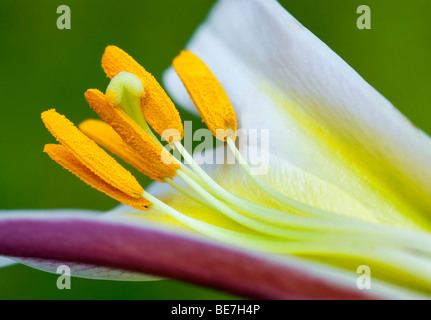 Close up of pistil and anther of Day Lily. Oregon - Stock Photo